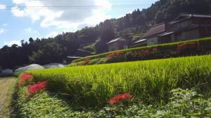 20150920棚田に咲く彼岸花