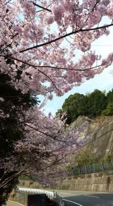 国道沿いの桜