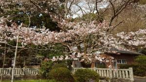 大宮神社の桜1