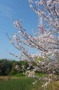 繊維団地横の桜④