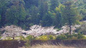 20170406桜並木