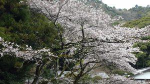 20170407大宮神社の桜
