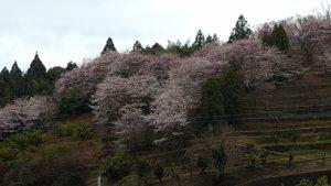 20170407山桜②