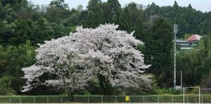 20170411小中学校から見える桜